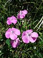 Dianthus alpinus sl4.jpg