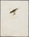 Dicaeum agile - 1820-1860 - Print - Iconographia Zoologica - Special Collections University of Amsterdam - UBA01 IZ19000285.tif