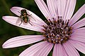 Dimorphotheca spectabilis 1DS-II 4-2310.jpg