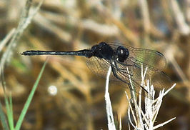 Diplacodes lefebvrii (Black Percher).jpg