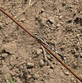 Diplacodes trivialis Female - Flickr - gailhampshire.jpg