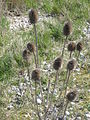 Dipsacus fullonum01.jpg