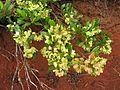 Dodonaea viscosa (4798294710).jpg