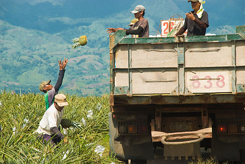 Farmers harvesting pineapples in the province of South Cotabato, Mindanao. - Philippines