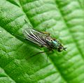 Dolichopodid fly - Flickr - gailhampshire.jpg