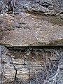 Dolostone (Rockford Limestone, Lower Mississippian; Burkesville West Rt. 90 roadcut, Kentucky, USA) 12 (31681359467).jpg