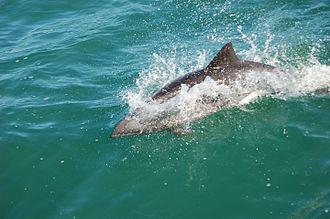 Lüderitz - Haviside's dolphin off Lüderitz
