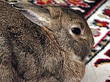 Domestic-rabbit-Lilly-side-0a.jpg
