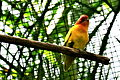 Domesticated lovebird in an aviary-6a.jpg
