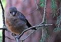 Domherre Eurasian Bullfinch (14796734788).jpg