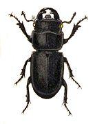 Dorcus.parallelipipedus.-.calwer.22.22.jpg