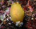 Doriopsilla albopunctata.jpg