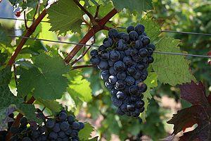Dornfelder - Mature Dornfelder grapes