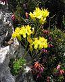 Draba aizoides PID1970-1.jpg