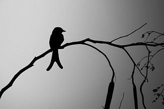 Black drongo - Typical silhouette
