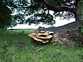 Dryad's Saddle Fungi - geograph.org.uk - 1414135.jpg
