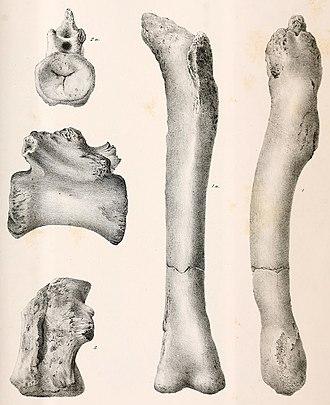 Dryptosaurus - Postcranial elements