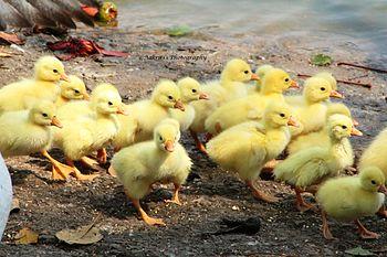 DuckbabiesAK.jpg