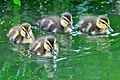 Ducklings swimming in Japan; May 2013.jpg