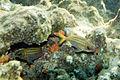 Dusky squirrelfish Sargocentron vexillarium (4683571795).jpg