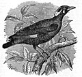 EB1911 Grackle.jpg