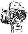 EB1911 Reptiles - Male copulatory organs of Lacerta agilis.jpg