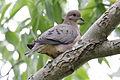 Eared Dove (Zenaida auriculata) (15337735904).jpg