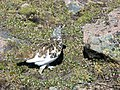 Early summer Ptarmigans in Rocky Mountain National Park. NPS-Marianne Tucker (18497318670).jpg