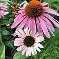 Echinacea purpurea IMG 0032.jpg