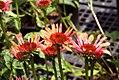 Echinacea x Big Sky Sundown 10zz.jpg