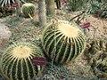 Echinocactus grusonii Brest.jpg