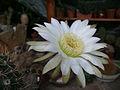 Echinopsis leucanthus.jpg