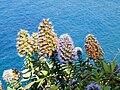 Echium nervosum, Madeira.jpg