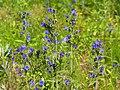 Echium vulgare Żmijowiec zwyczajny 2020-07-02 05.jpg