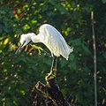 Egretta garzetta, Little egret .jpg