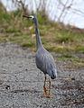 Egretta novaehollandiae -Lysterfield Park, Melbourne, Victoria, Australia-8.jpg