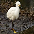 Egretta thula searching for prey in the Strawberry marshes.jpg