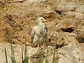 Egyptian Vulture Biblical Zoo 03.JPG