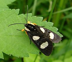 Eight-spotted Forester -- Alypia octomaculata.jpg
