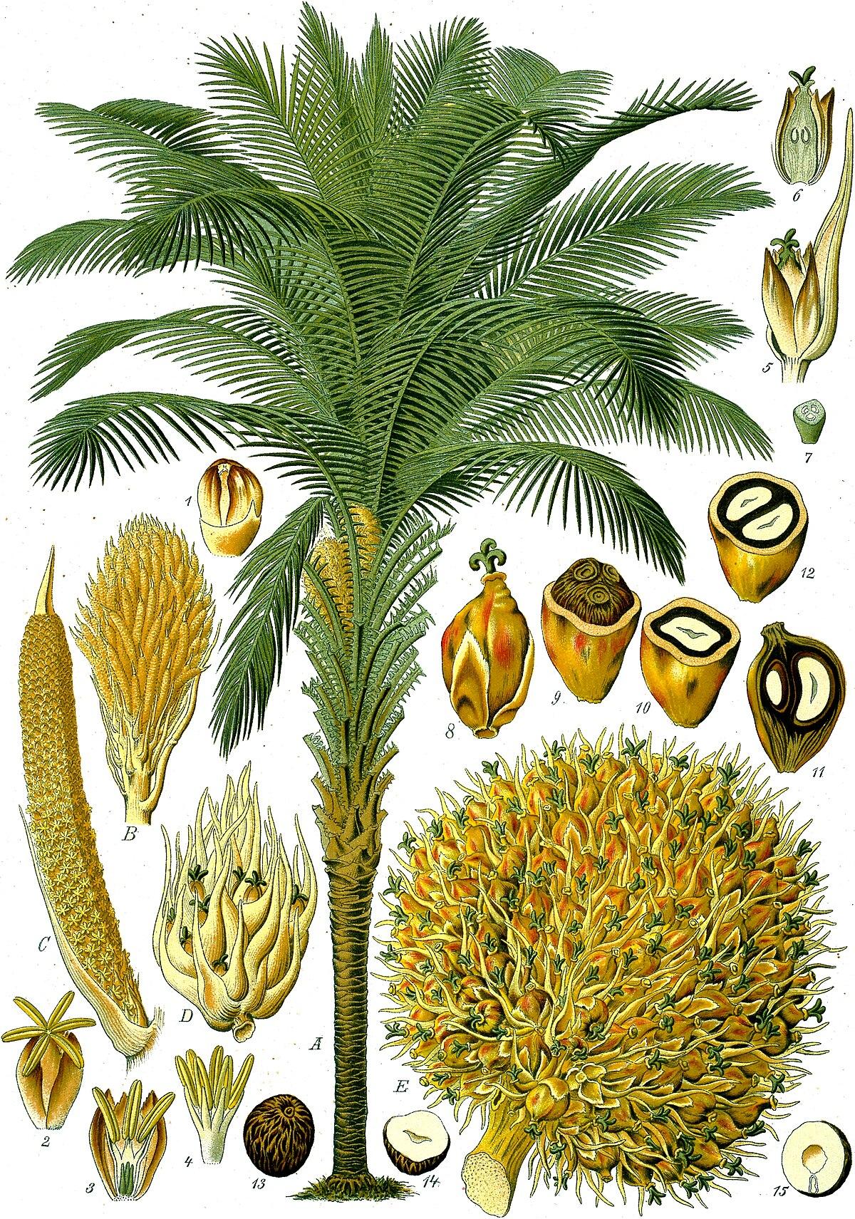 Christmas Palm - Gardening Solutions - University of Florida ...