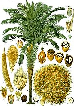 Kelapa sawit Afrika (Elaeis guineensis)