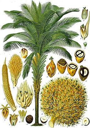 Ölpalme (Elaeis guineensis)