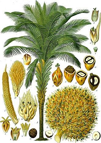 Elaeis guineensis - African oil palm (Elaeis guineensis)
