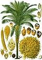 Elaeis guineensis - Köhler–s Medizinal-Pflanzen-056.jpg