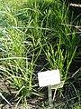 Eleusine coracana - Botanical Garden in Kaisaniemi, Helsinki - DSC03553.JPG