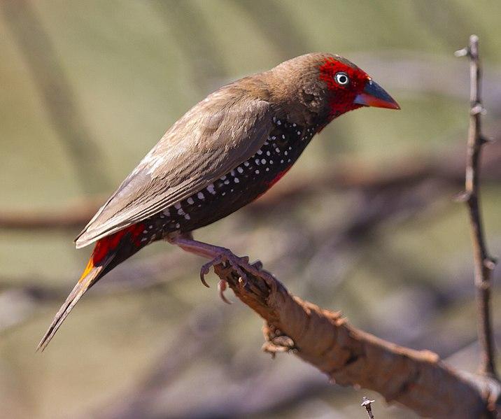 File:Emblema pictum -Karratha, Pilbara, Western Australia, Australia-8.jpg