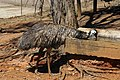Emu (Dromaius novaehollandiae) drinking water from a water trough 03.jpg