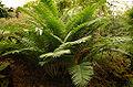 Encephalartos villosus - 100 yrs old in Teplice Botanical Garden DSC 0206.jpg