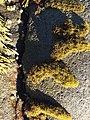 Endocladia muricata, Cambria CA.jpg