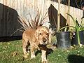 English Cocker Spaniel.jpg